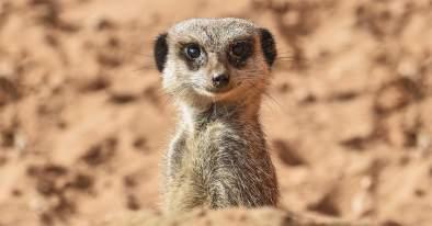 meerkat-banner.jpg